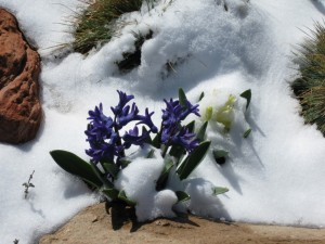 Hyacinths in the Snow