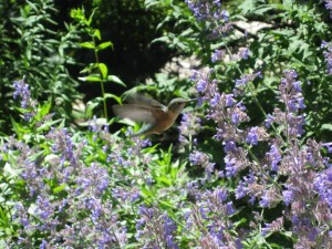 Hummingbird in Vail