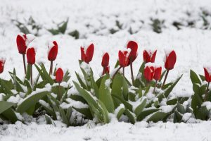 tulips in a snow