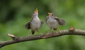 songbird3