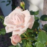 The September Rose