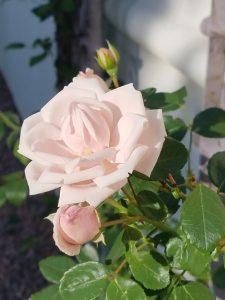 Rose bush (2)