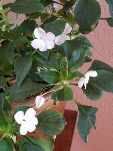 Impatiens close up